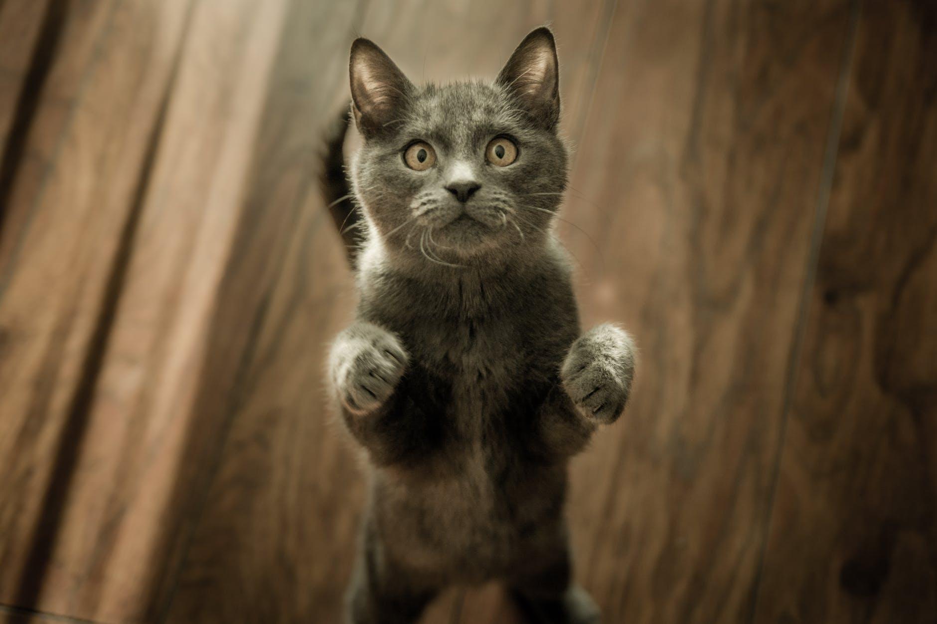 grey kitten on floor