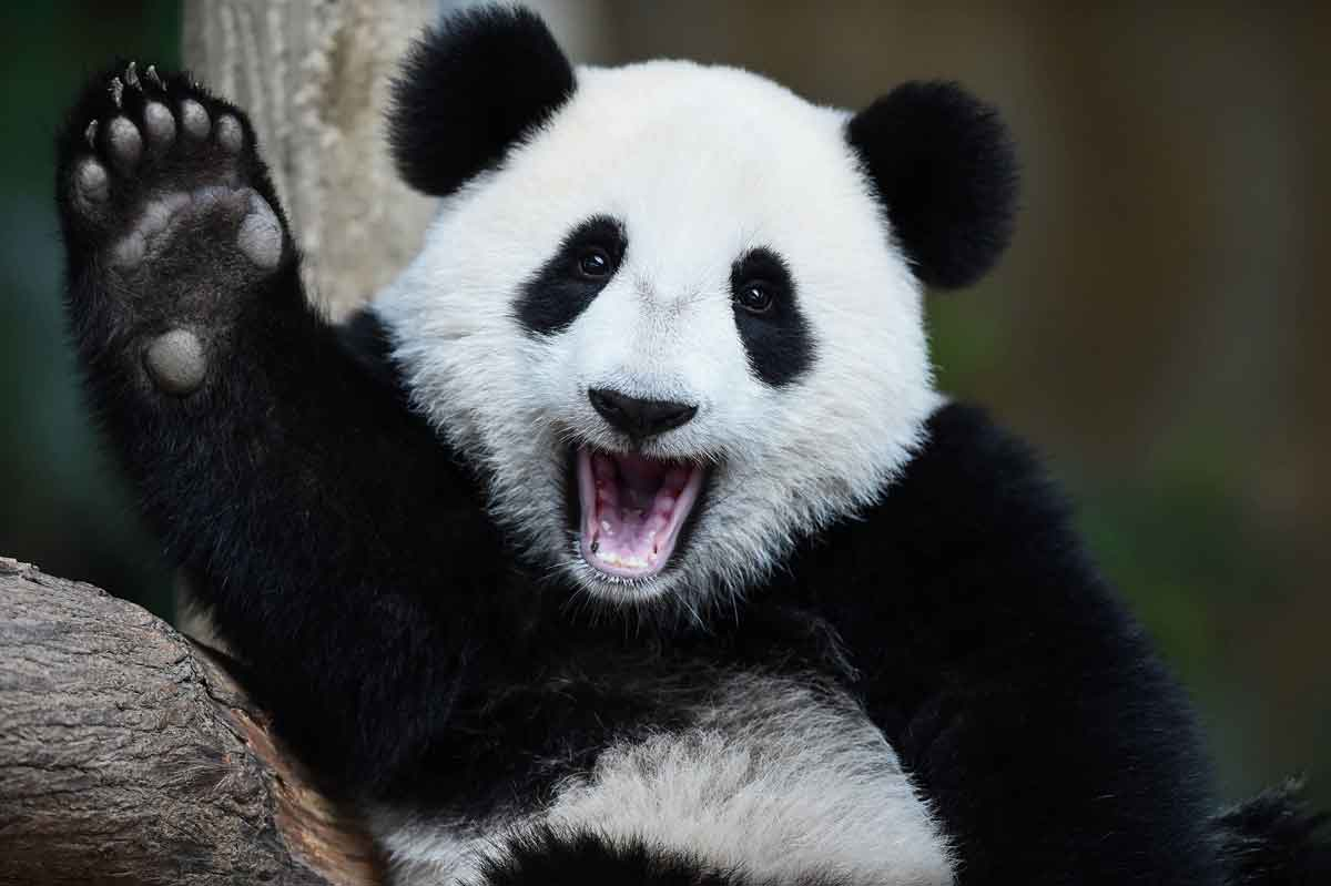 FreebieMNL - Good news, folks: giant pandas are finally out of the endangered species list